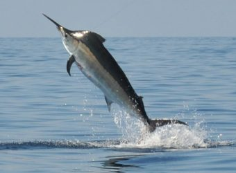 Speared by a Marlin.